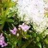 ハナミズキの花も盛りを過ぎた4月下旬、予報通りの雪となりました。
