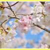 花見に間に合う 夕散歩編
