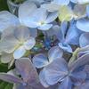梅雨入り宣言前と宣言後の紫陽花。