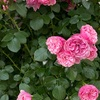 エネルギーの世界で生きる 7       薔薇の周波数