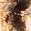 浜松市で庭木の中にできたヒメスズメバチの巣を駆除してきました