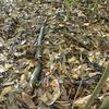 シロシャクジョウ  落葉より小さい