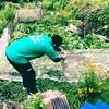 高槻市原地区のシープファーム活動日誌。サツマイモ植えに救世主が…