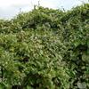 キウイ棚がガガイモに埋もれました。