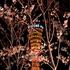 メリケンパーク夜桜、本日神戸開花宣言