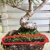 【NO MORE】盆栽における水やりと植替えの重要性【根腐れ】