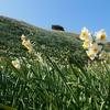 平日に1人で日帰り鉄道旅 静岡県下田市爪木崎の水仙まつり 1月15日の開花状況