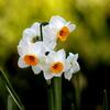 とっても美しい水仙の花