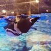 【3次元】泳ぐペンギンロボ「もるペン!」を作ったのは女子高生!「トライボッツ」のこれからに期待!