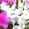 つつじ祭りは終わったけれどつつじはまだ咲いています お祭り後の根津神社before→after 5月12日(金)2017年