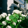 京都・御池通りの白いあじさい