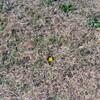 旧中川の土手の黄色いもの