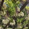 まだまだ見頃つづきます☆下福島公園の野田藤