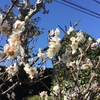 4-308   令和最初の梅も綺麗に咲いています!!