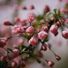 木場公園の花海棠の花