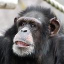 博多のチンパンジー