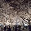 祇園白川の夜桜2019、ライトアップされた桜を観賞!