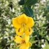 ハナセンナの黄色い花