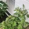 夫の家庭菜園︰今年もプチトマトができました