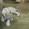 東武動物公園に行っら絶対に見たいホワイトタイガー。