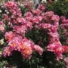 バラ栽培講座(2) 有機栽培で育てる意味と方法