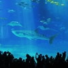 初めての沖縄旅行(3)/美ら海水族館に行ってきました