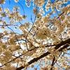 【韓国でお花見】3年前の春の話