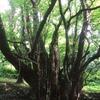 秋田の巨木