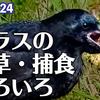 1024【カエルがカラスに食べられる】ハシボソの面白い行動、仕草、捕食。ヒドリガモの鳴き声エクリパスのコガモ、奇形のカルガモ、変わった凧揚げ。【 #今日撮り野鳥動画まとめ 】 #身近な生き物語