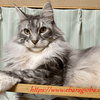 今年も「けんかつくん」・腎臓と腸の健康検査:メインクーン猫シルルのもふもふ