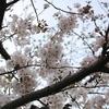 2019年4月 明石公園 桜 その1