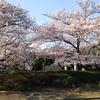 通勤途中にて桜