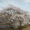 満開のしだれ桜