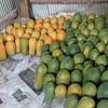 アンコールワット個人ツアー(109)バッタンバン農園体験ツアー バッタンバンパパイヤ農園ツアー