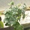 寄せ鉢にしました〜水栽培で増えたアイビーとハイドロボールで育ったポトス〜