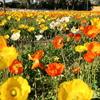 館山でポピーの花を見てきました!! 館山ファミリーパークの紹介です!