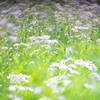 うすむらさきの、シオンの咲く頃