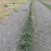 ジャガイモ(男爵)畝の除草