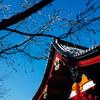 浅草・四季桜