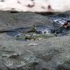 大きな岩の水溜りで水浴びしようとするキビタキ♀