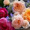 春バラの終わり End of spring rose