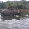 カヤックで水牛たちとの遭遇