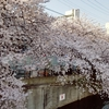 昼間の大岡川の桜見てきた!