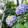 【文京あじさい祭り】白山神社の紫陽花が満開です(2018年版)