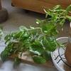 水挿しから育てている観葉植物たちの生長記録。