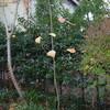 広島被爆柿の木の子孫