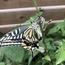 アゲハチョウと柚子の木の受難