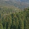 なぜ日本には杉の木がたくさんあるの?