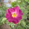 少しだけど…我が庭のバラは咲いています。