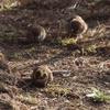 雀の群れにミヤマホオジロが